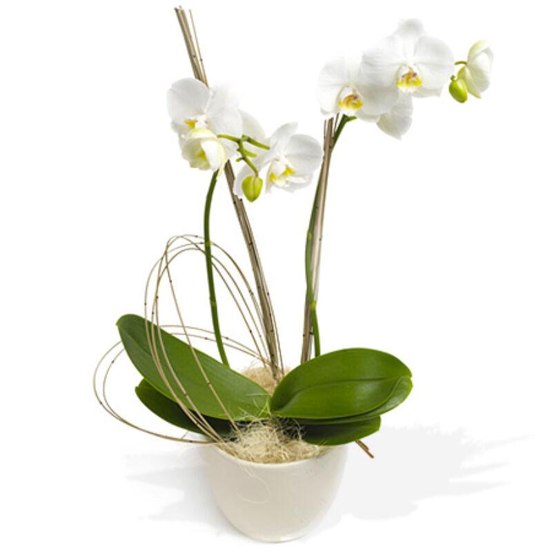 Cserepes Orchidea - Fehér