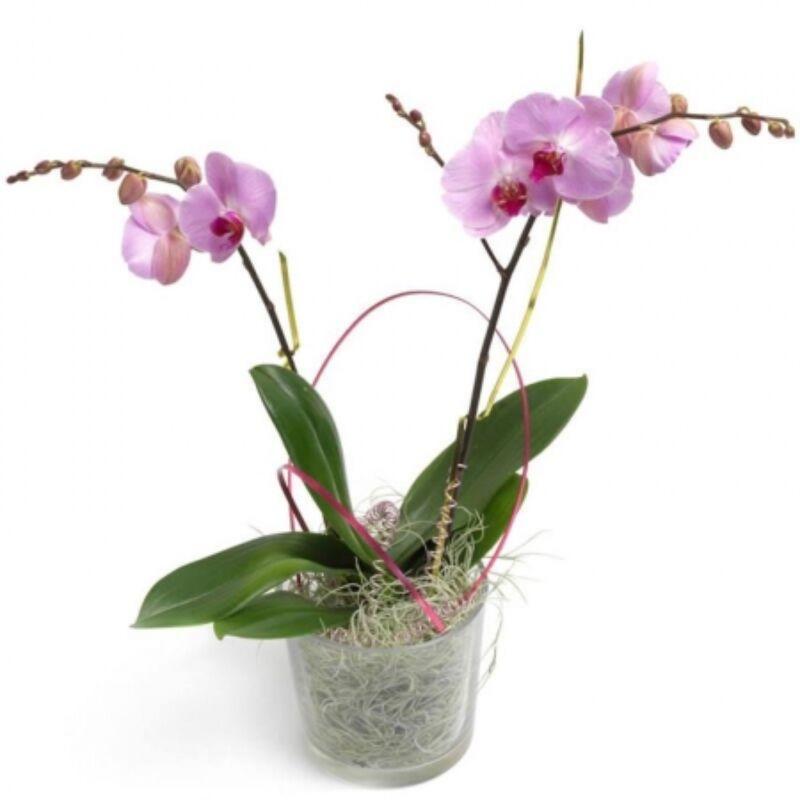 Cserepes Orchidea - Rózsaszín